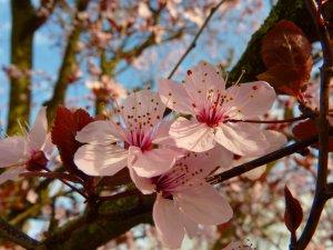 almond-blossom-5289